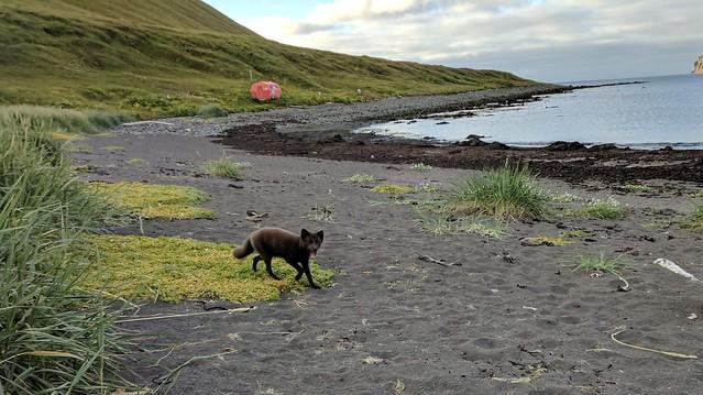 Arctic Fox at Hornvík in Hornstrandir