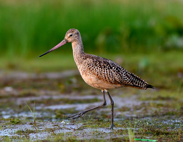 Marbled Godwit (Explored), Nikon D500, AF-S Nikkor 500mm f/4D IF-ED II