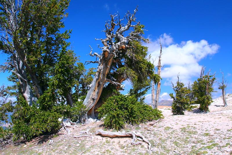 IMG_4920 Great Basin Bristlecone Pine