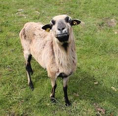 Goats/Sheep