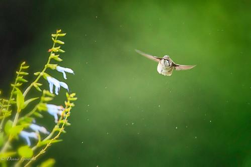 flower meadowlark action background bird hummingbird rubythroated summer sunrise wildlife vienna virginia unitedstates us