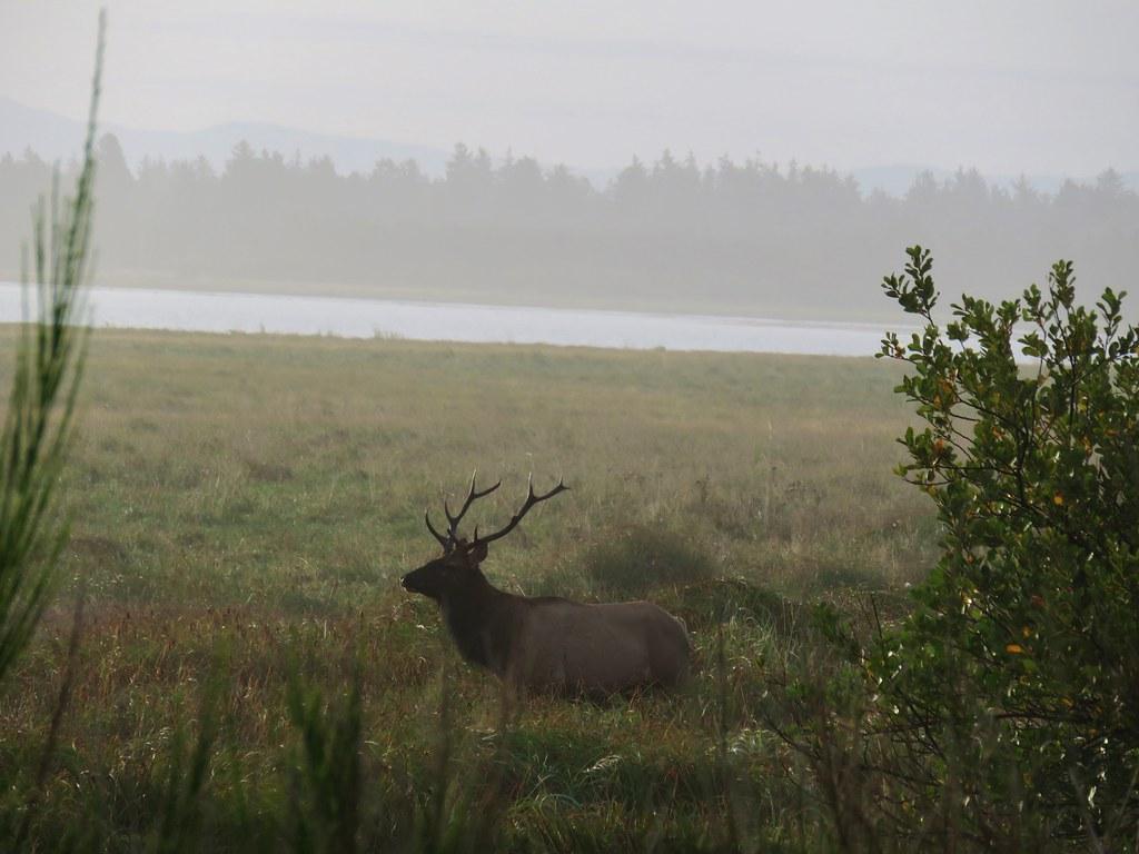 Bull elk at Clatsop Spit