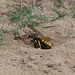 Bee Killer Wasp (Bee Wolf) Carrying A Bee