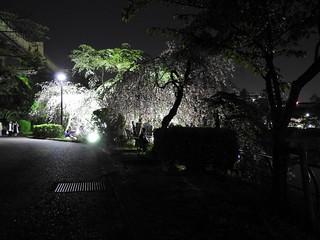 千葉公園綿打池 夜桜ライトアップ10 ヴェールの向こうで語らう人々