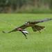 Flying Food ! ............... Lanner Falcon