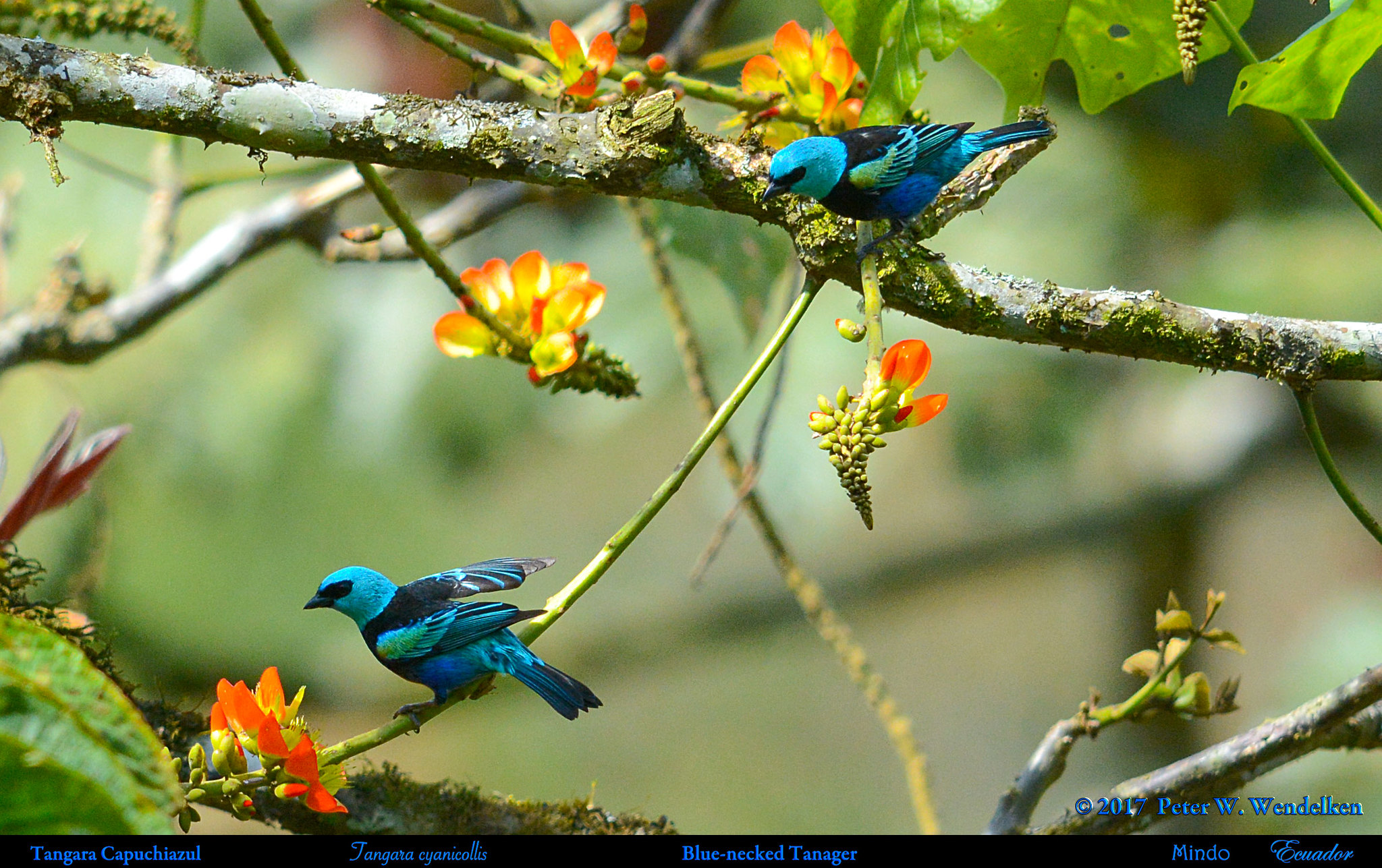 A Pair of BLUE-NECKED TANAGERS Tangara cyanicollis Seeking Nectar in Mindo, ECUADOR. Tanager Photo by Peter Wendelken.