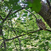 Eastern Screech owl in the middle of Toronto