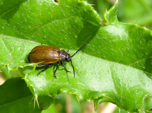 Willow Leaf Beetle