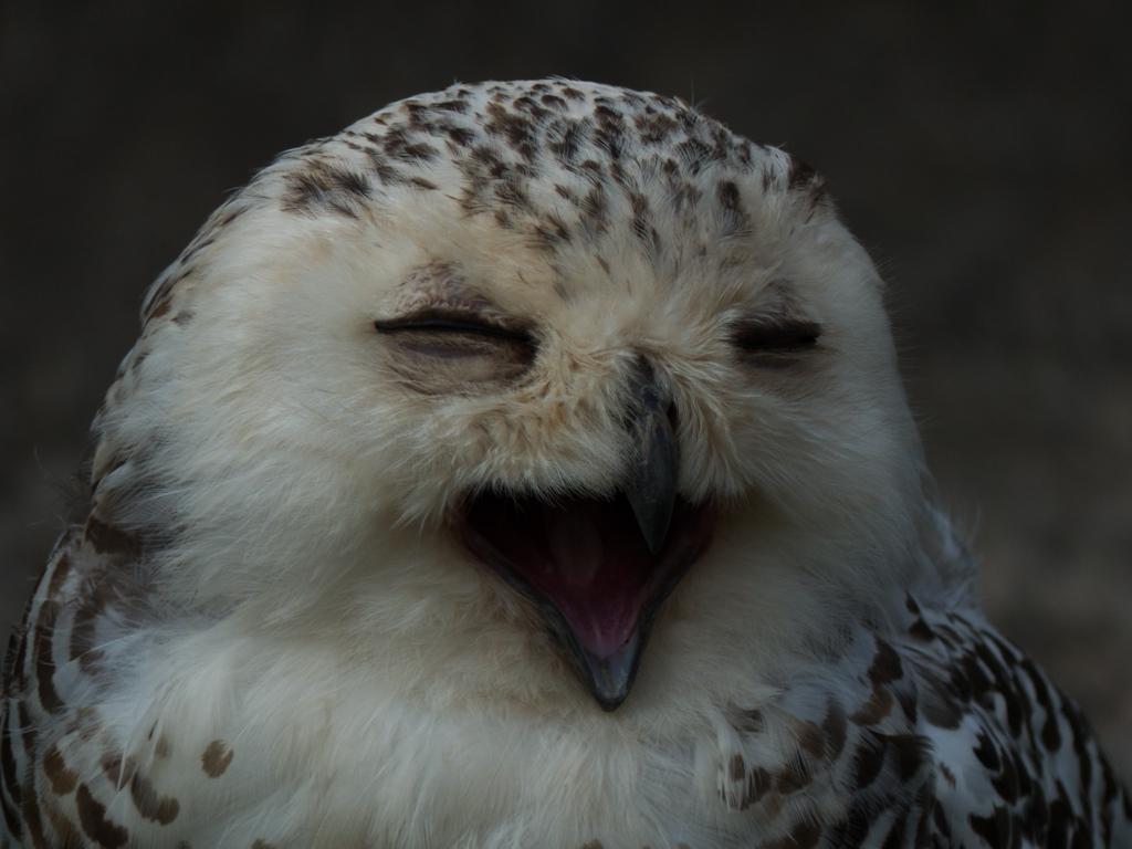 Schnee-Eule / Snowy owl