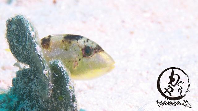 葉っぱに隠れるゴマモンガラ幼魚ちゃん♪