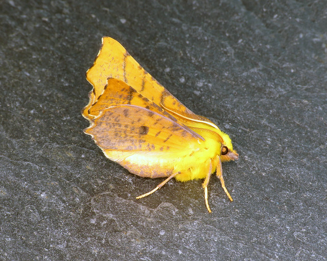 70.234 Canary-shouldered Thorn - Ennomos alniaria