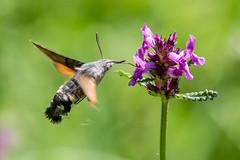 Hummingbird Hawk-moth - Photo of Saint-Sauveur-Lendelin