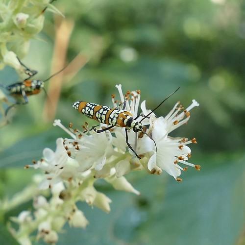 ailanthuswebwormmoth attevaaurea insect moth princewilliamcounty taxonomy:binomial=attevaaurea taxonomy:common=ailanthuswebwormmoth usa va virginia atteva