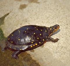 Spotted Turtle (Clemmys guttata) (captive specimen)