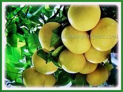 Bunches of edible fruits of Citrus x paradisi (Grapefruit, Paradise Citrus), 22 Aug 2017