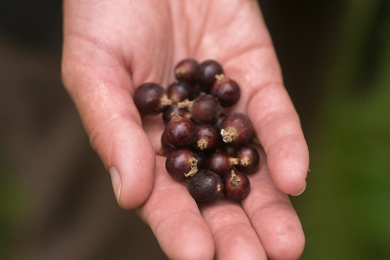 Wild black currant berries on hand