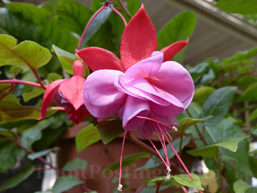 fuchsia and foliage