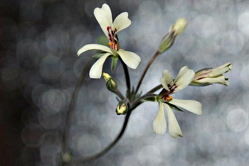 Pelargonium pinnatum