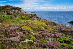 Heather season by the sea