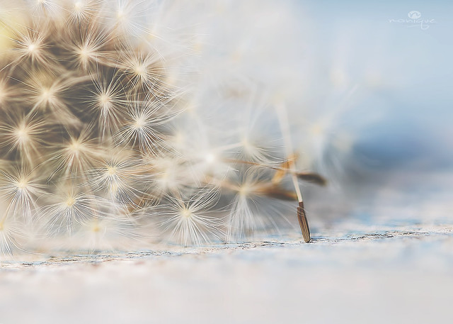 history of a dandelion - part 2