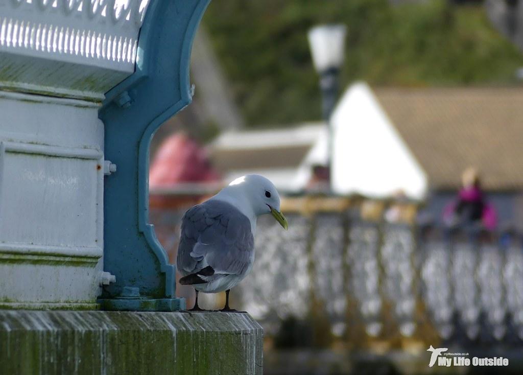 P1100963 - Kittiwakes, Mumbles Pier