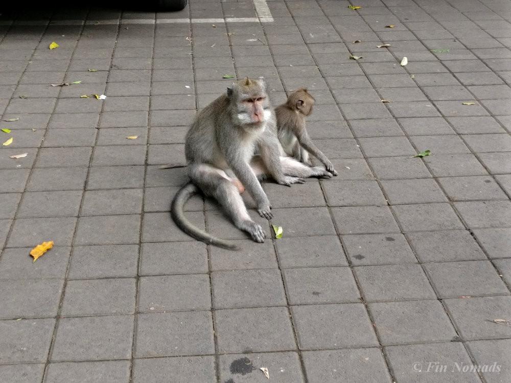 monkeys ubud