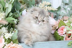 Chinchilla Blue Golden Kittens