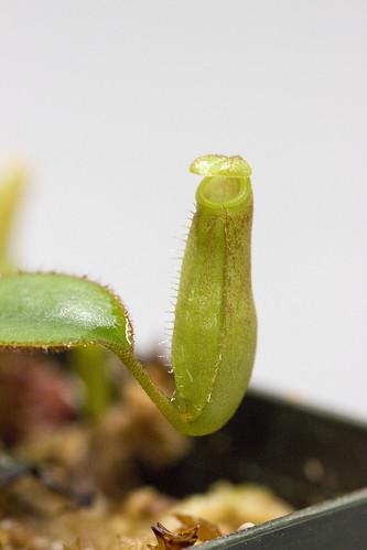 Nepenthes adnata sg