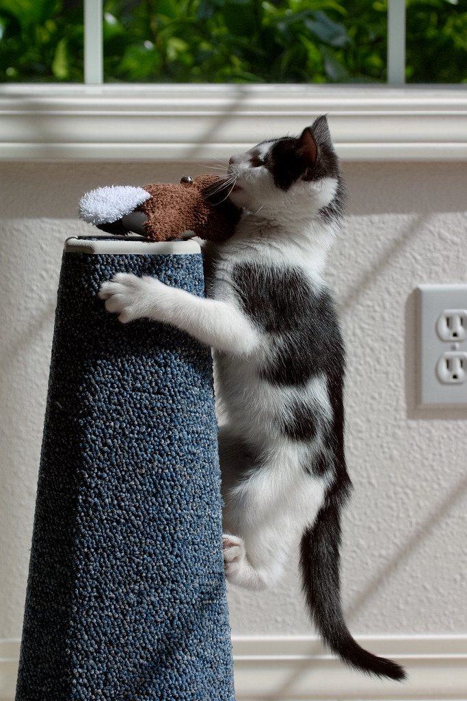 Our kitten Scout climbs the scratching post in pursuit of her beaver cat toy