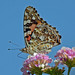 Painted Lady on Lantana