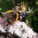 Red Admiral and small friend.