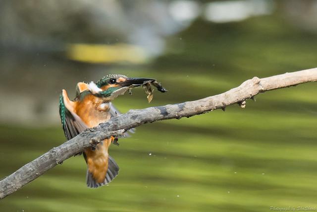 20170910-kingfisher-DSC_2757