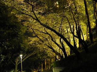 千葉公園 野球場の夜桜08