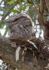 Tawny Frogmouth Winton wetlands