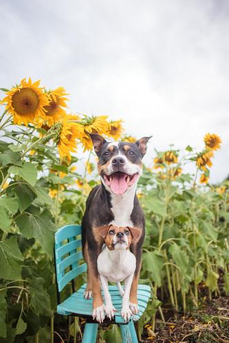 Sunflowers-0969