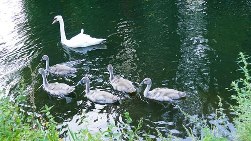 Swan and cygnets, canal near Newbridge