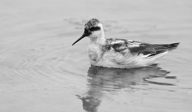 Red-necked Phalarope, Canon EOS REBEL T6I, Canon EF70-300mm f/4-5.6 IS II USM