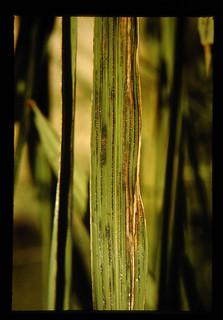 Becterial Leaf Streak = 陸稲