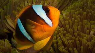 Two-banded Anemonefish (Amphiprion bicinctus)