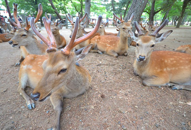 japan itinerary travel guide nara park deer