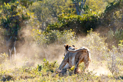 Lioness chasing after a zebra