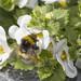 Reykjavík's got loads of bumblebees