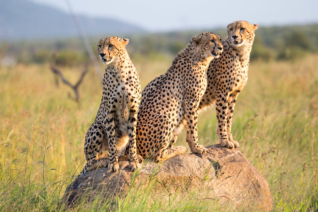 Three young male cheetahs on a rock in Pilanesberg reserve, South Africa