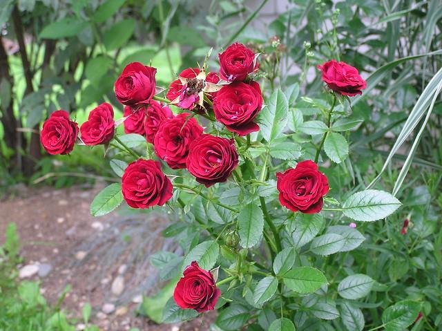 Rosa 'Scarlet Hit'