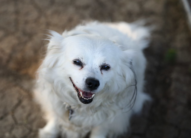 american eskimo dog pictures and informations dog breeds com