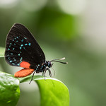 Atala Butterfly at Bronx Zoo, New York  PERMISSION TO USE: Please check the licence for this photo on Flickr. If the photo is marked with the Creative Commons licence, you are welcome to use this photo free of charge for any purpose including commercial. I am not concerned with how attribution is provided - a link to my flickr page or my name is fine. If used in a context where attribution is impractical, that's fine too. I enjoy seeing where my photos have been used so please send me links, screenshots or photos where possible. If the photo is not marked with the Creative Commons licence, only my friends and family are permitted to use it.