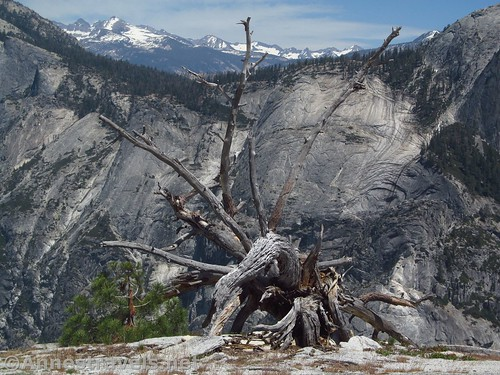 A really cool dead tree along the final push up North Dome in Yosemite National Park, California