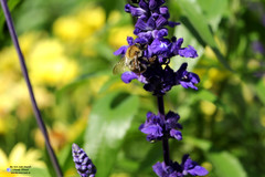 violette Blume mit Biene, Violet flower with bee