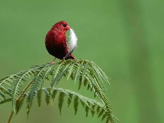 Red munia male