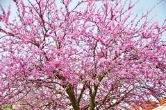 Pink flowering tree 2010